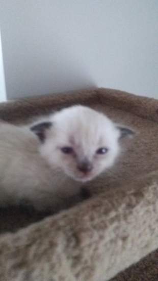 Indiana 1 Male and 1 feMale Sphynx Kitten for sale : Pets