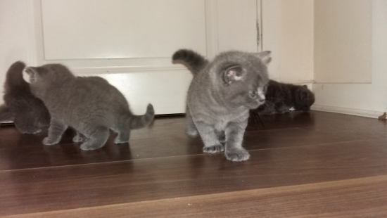 Indiana British shorthair kittens : Pets and Animals in